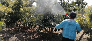 El Sr. Moisés Oré Ybala, replica la demostración de aplicación de insecticida orgánico Para control del mosca blanca y queresa en palto has.