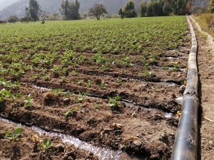 Riego controlado con mangas de polietileno para incrementar la  eficiencia de aplicación del agua